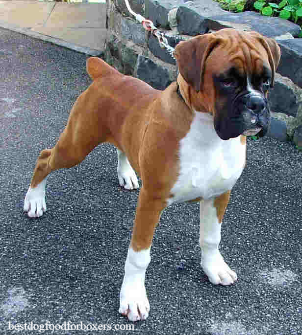 uk boxer dog
