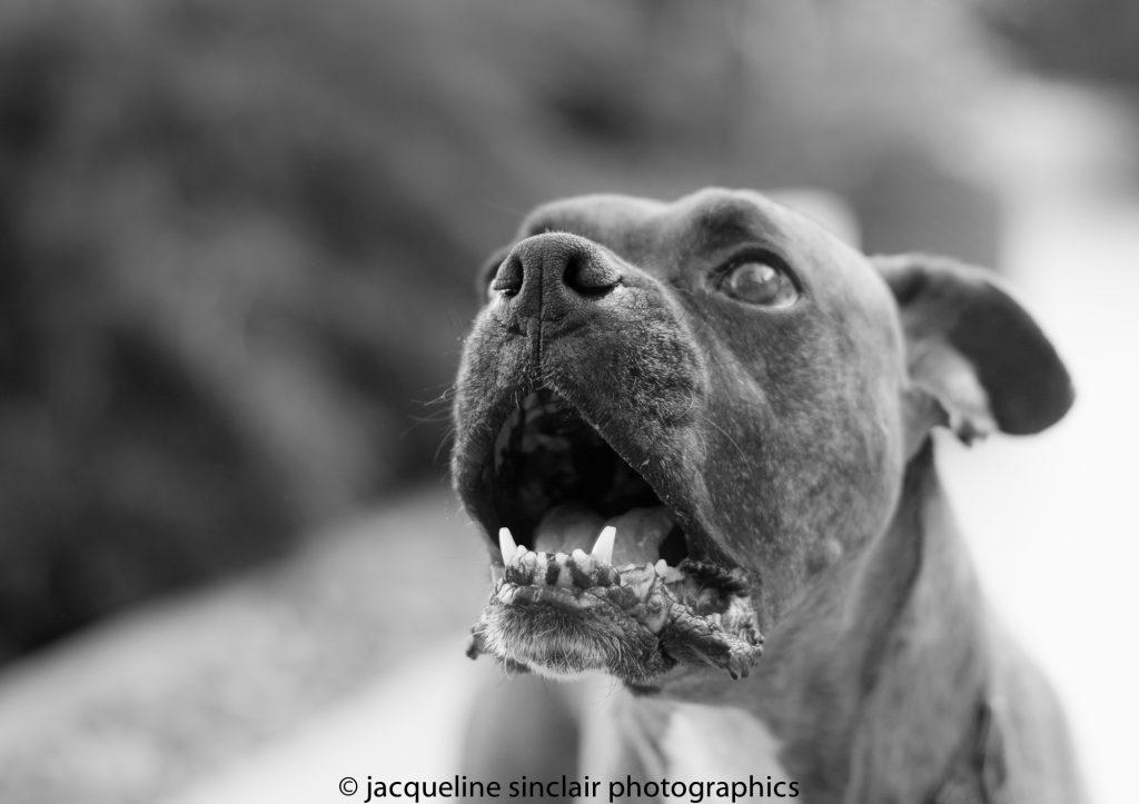 boxer barking