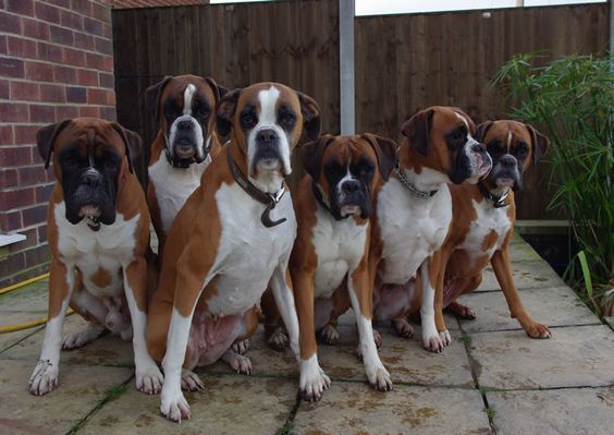 boxer breed type