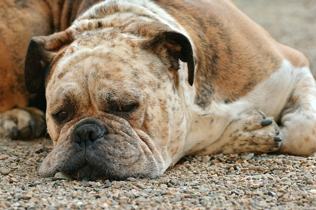 boxer dog diseases