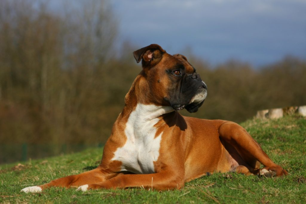 Boxer Dog Size Basic Info Boxer Dog Info And Health Tips