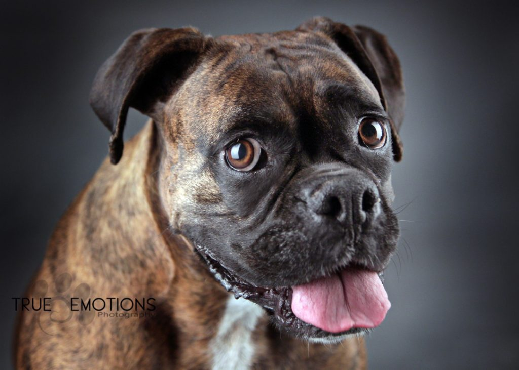 boxer dog with out marking