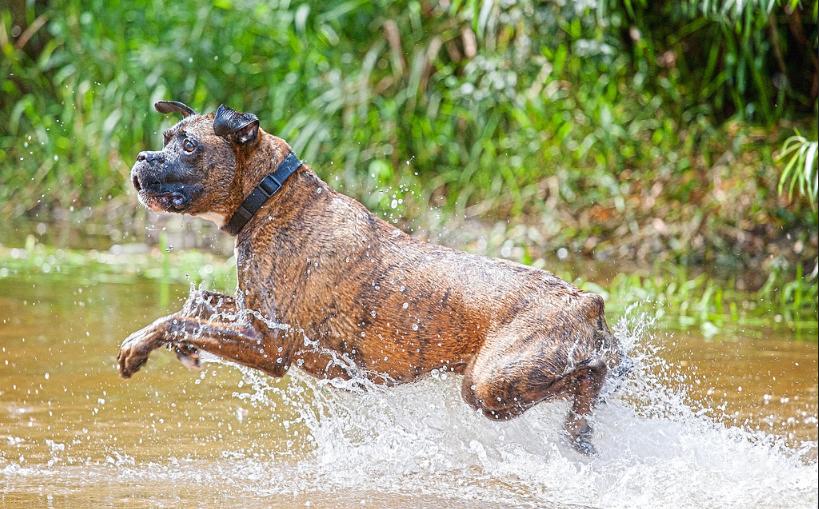 boxer dog without marking