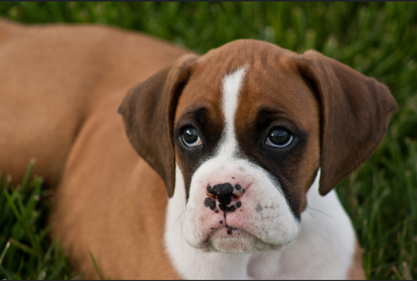 Why a Boxer Dog Seems too Skinny? - Boxer Dog info and Health Tips
