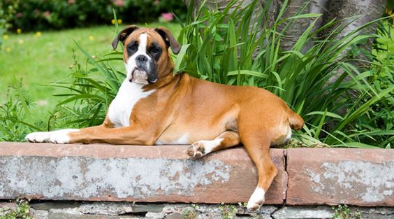 Boxer Dog Photos Boxer Dog Info And Health Tips