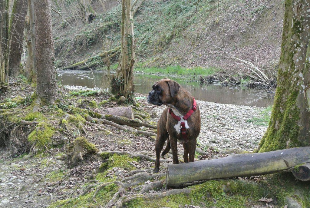 Boxer Dog Calorie Requirements