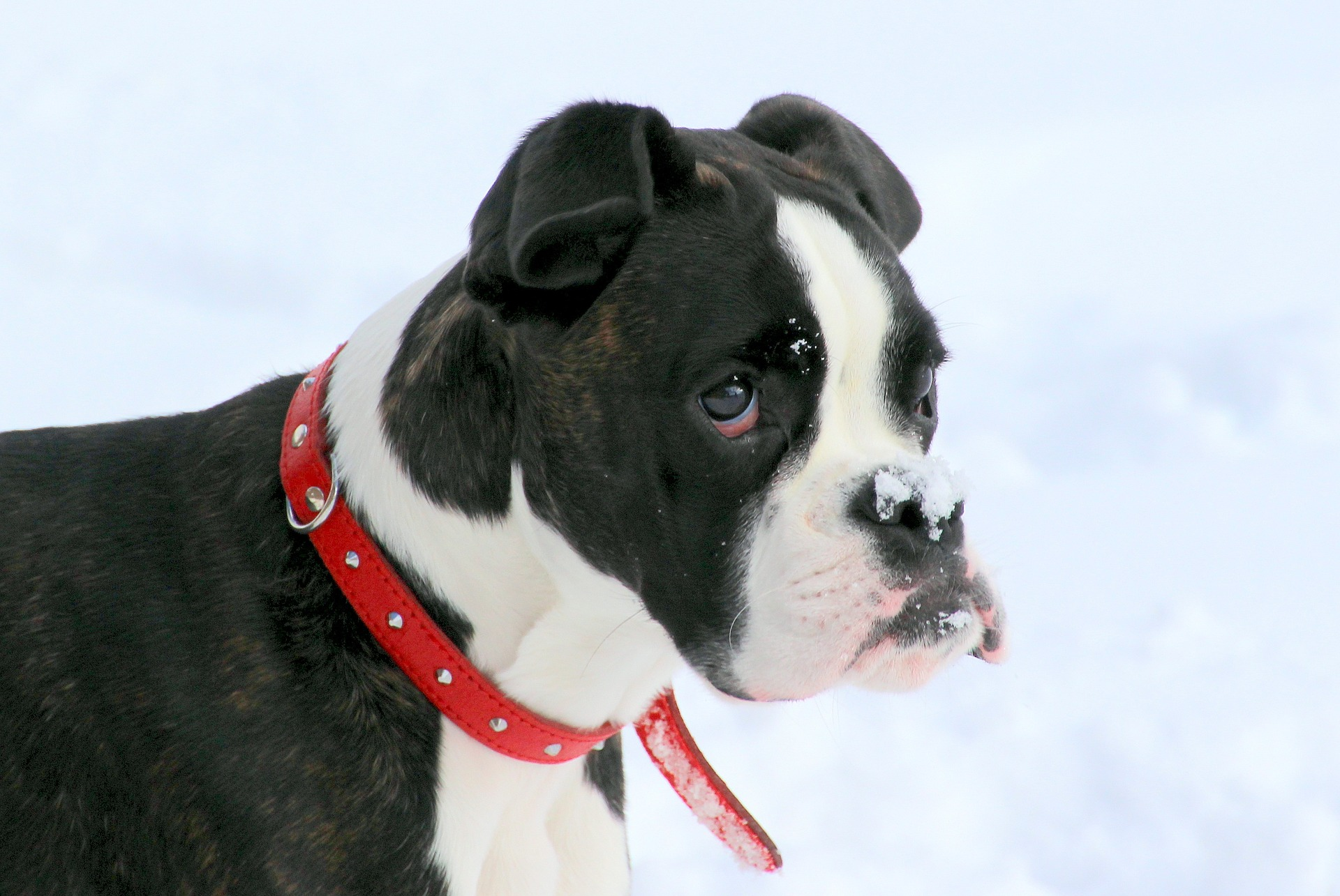 Boxer Dog Temperament