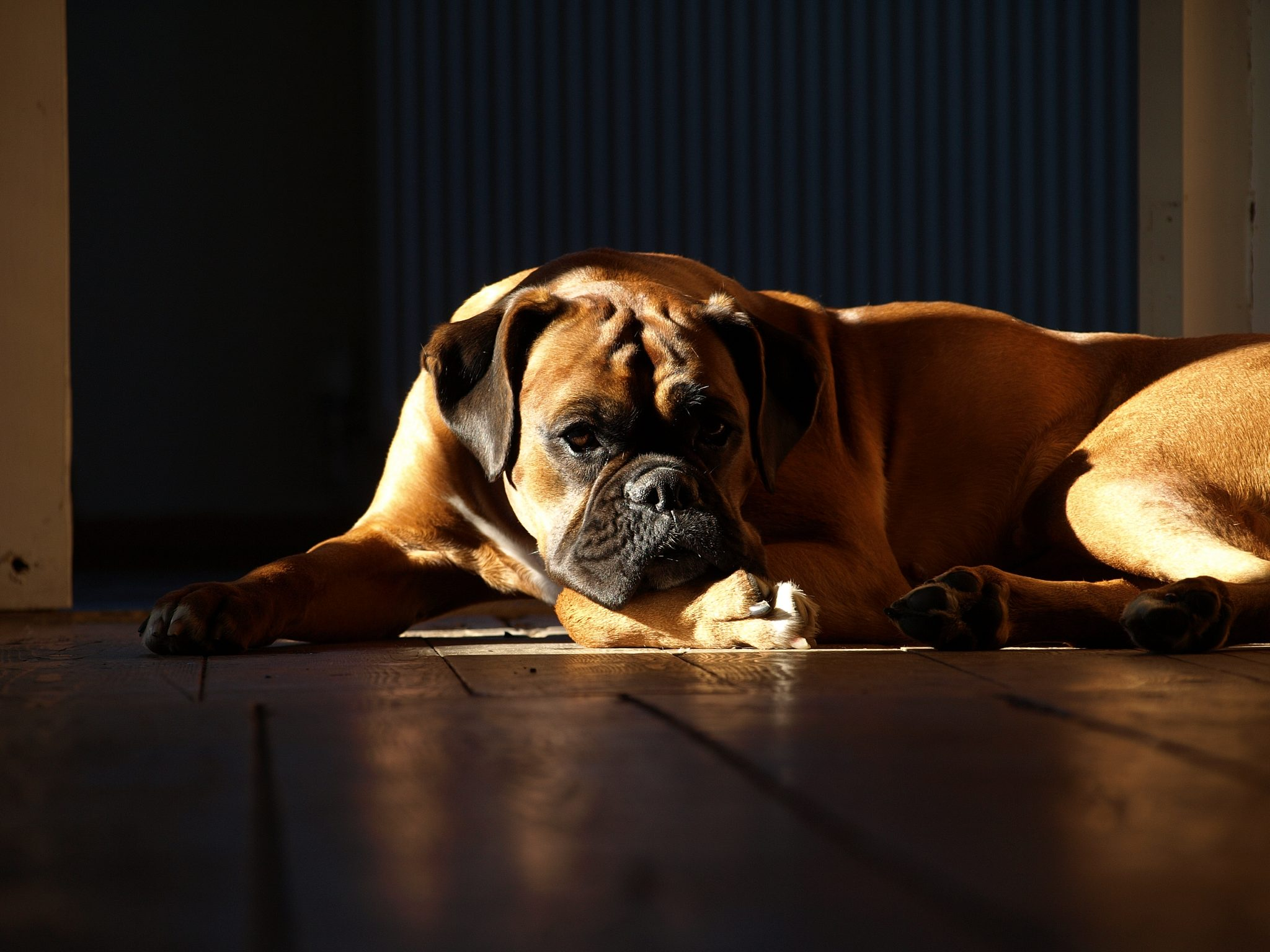 Boxer dog Diet Plan