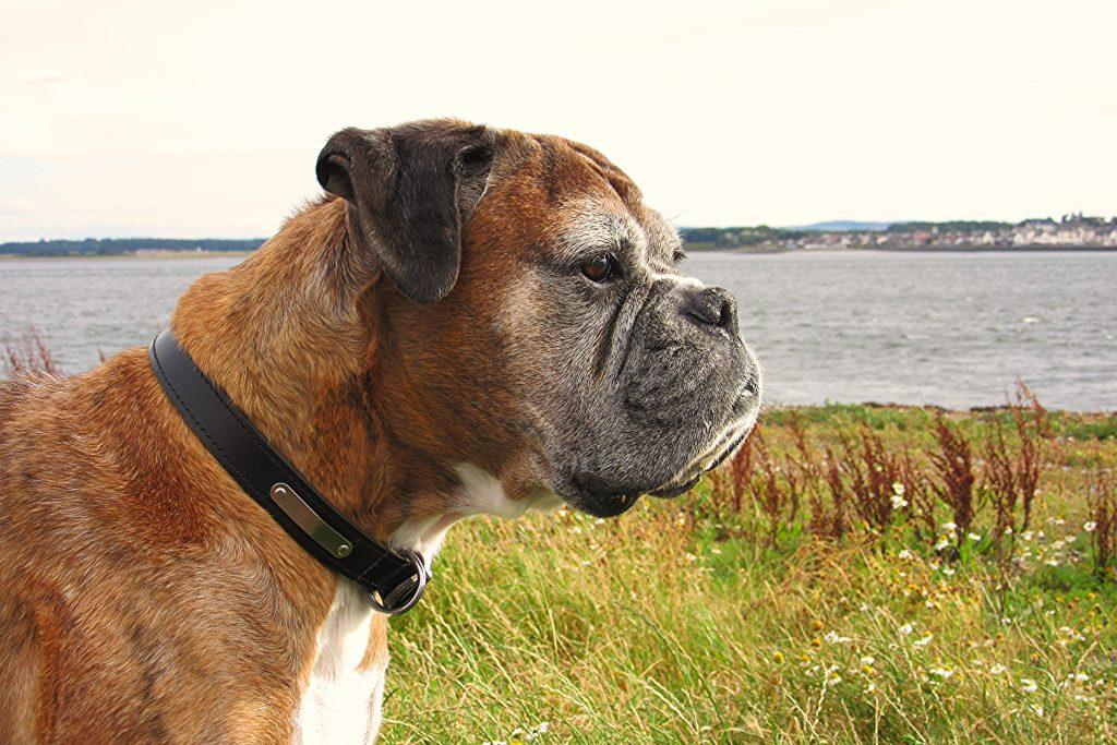 Boxer dog bloating issue