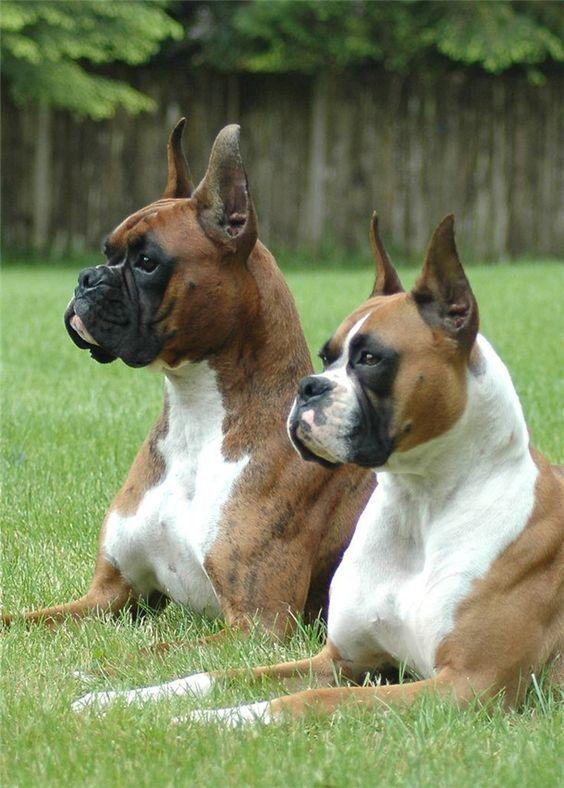american-boxer-dog