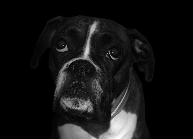 Boxer Dog - Boxer Dog info and Health Tips