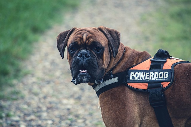 boxer dog excercise