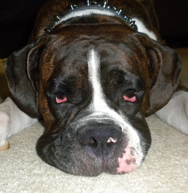 dogs with lymphoma