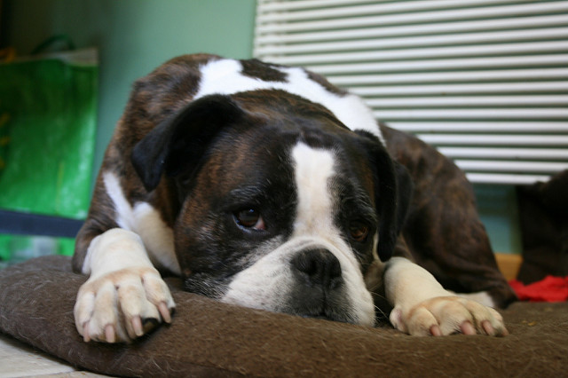 Seizures in boxer dog