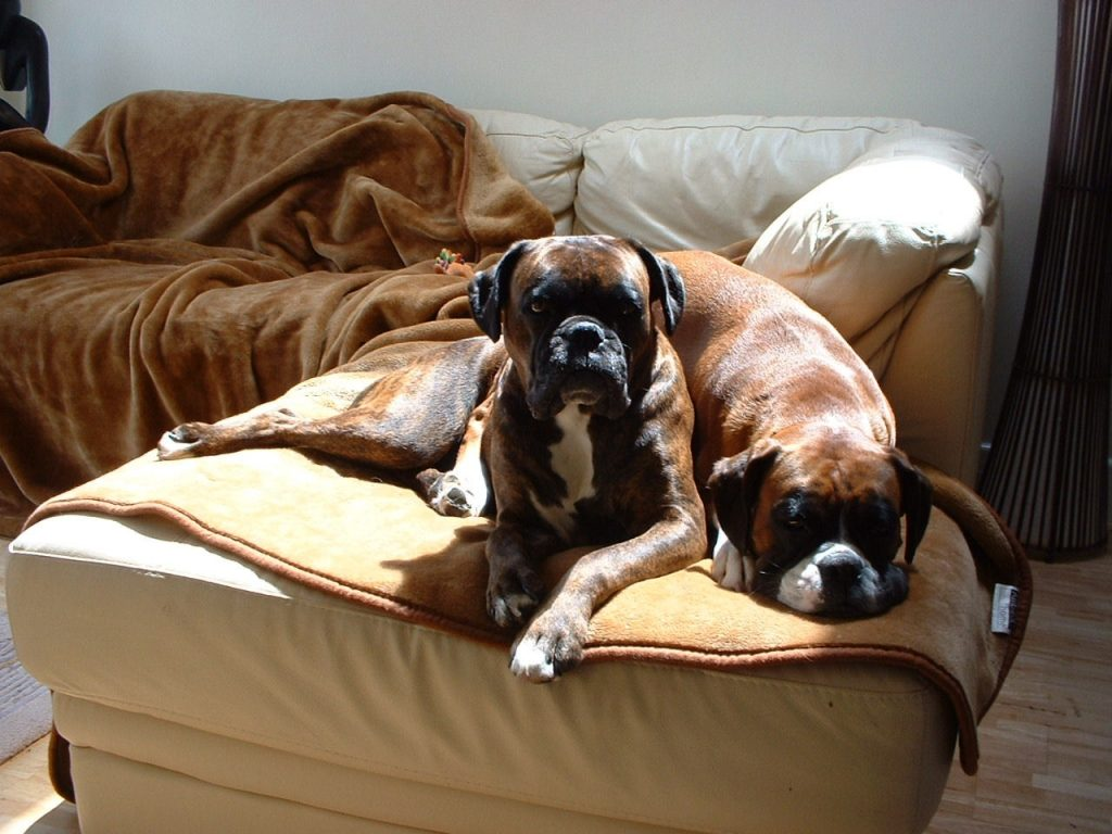 Why Do Boxer Dogs Sit on Each Other