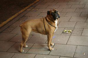 female boxer dog