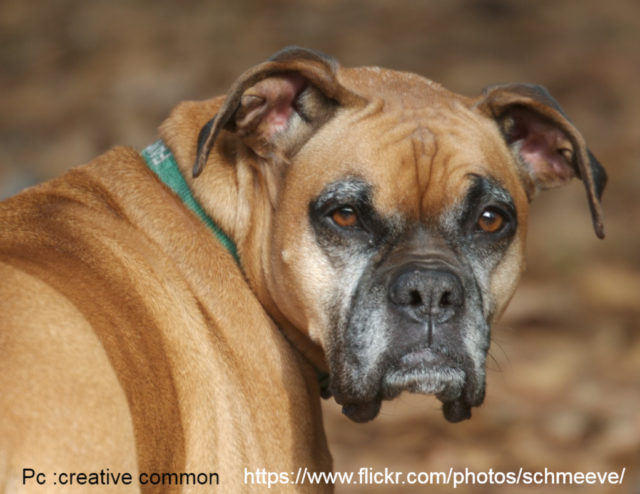 Why-Boxer-Dogs-are-Aggressive-towards-Other-Dogs-or-Cats