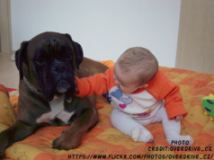 Are Boxers Good With Kids