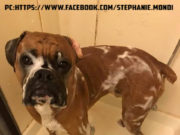 Best-dog-shampoo-for-Boxer-dogs