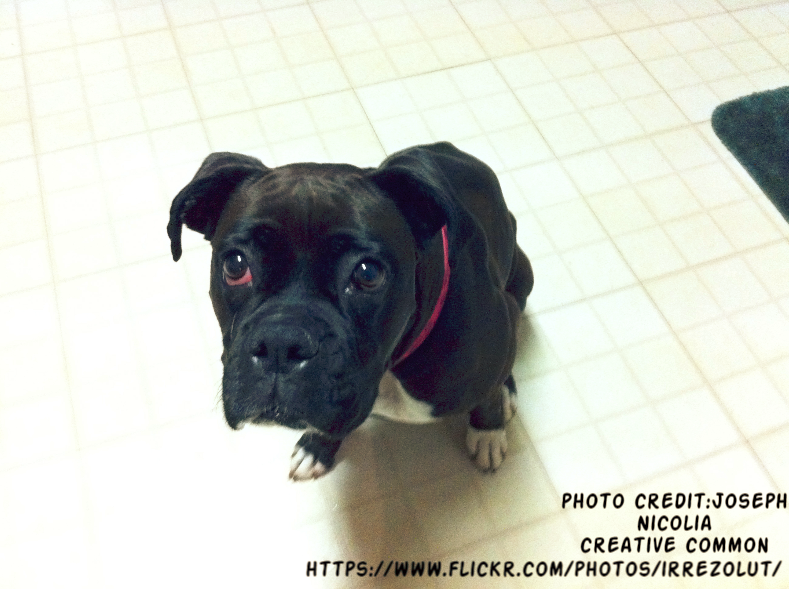 Black Boxer Puppies - Boxer Dog info and Health Tips