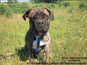 Boxer Bullmastiff Mix