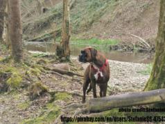 Boxer Dog Origin, History and Ancestors
