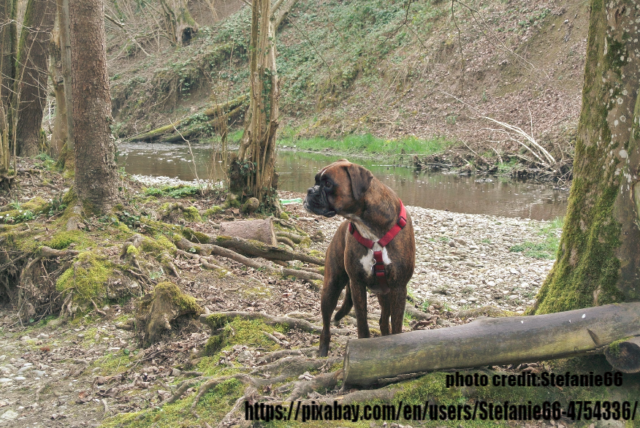 Boxer Dog Origin, History and Ancestors