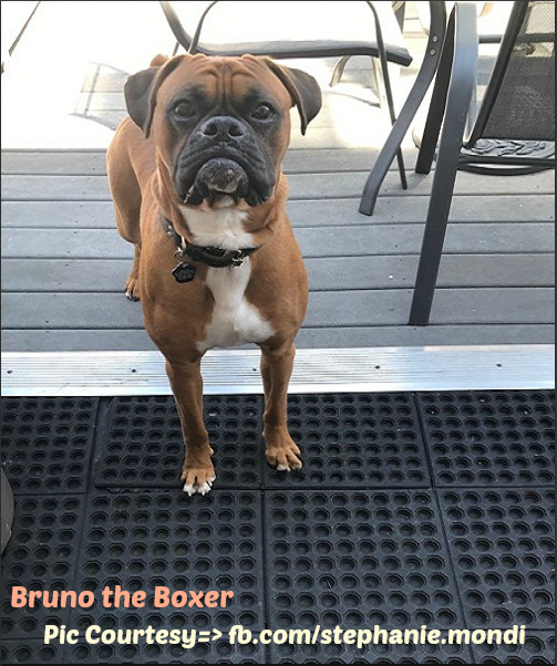 How-Much-Food-should-a-Boxer-Eat