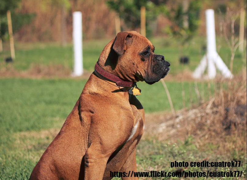Red Boxer Dog