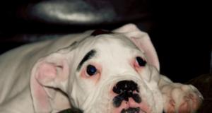 albino boxer dog
