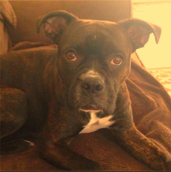 pocket boxer dog