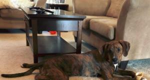 Boxer Coonhound Mix