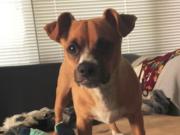Chihuahua Boxer Mix