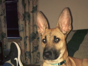 German Shepherd Boxer Mix