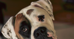 American Bulldog Boxer Mix