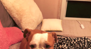 Boxer Bulldog Mix