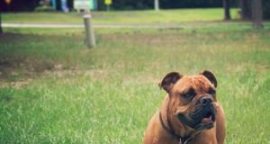 English Bulldog Boxer Mix