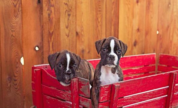 European Boxer Dog