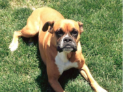 Female Boxer Dog Heat Cycle
