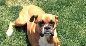 Female Boxer Dog Heat Cycle